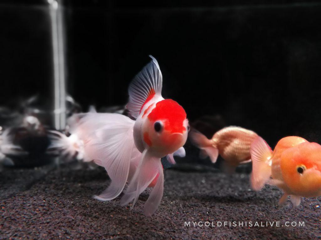 Sakura Oranda Goldfish