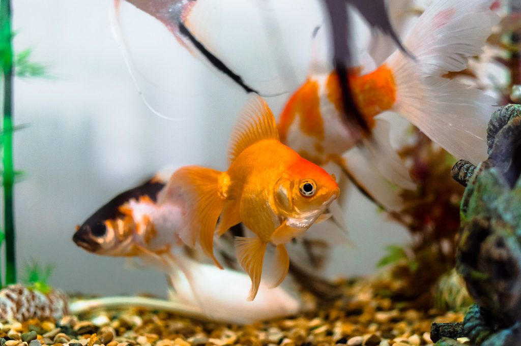 Picture of goldfish