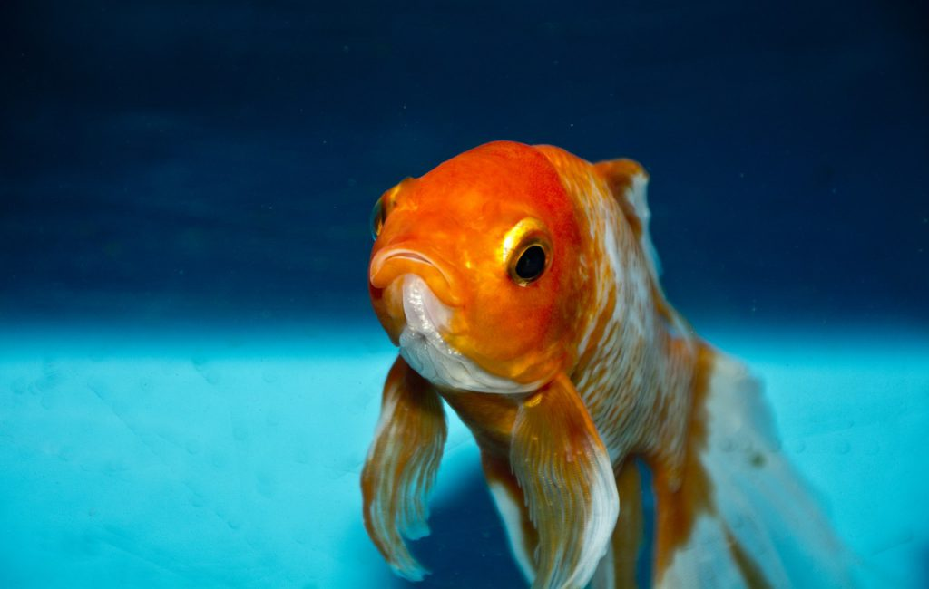 Why do my goldfish keep dying?