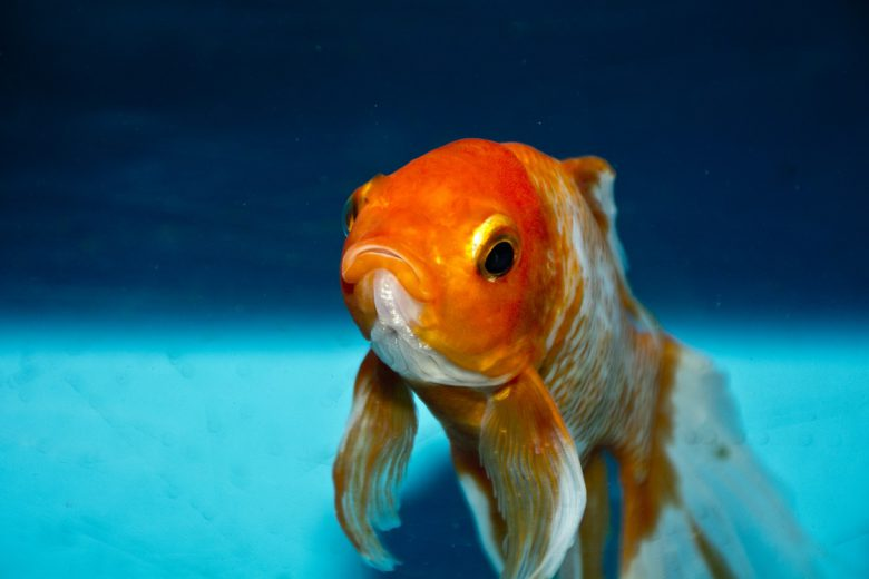 Signs of sick goldfish