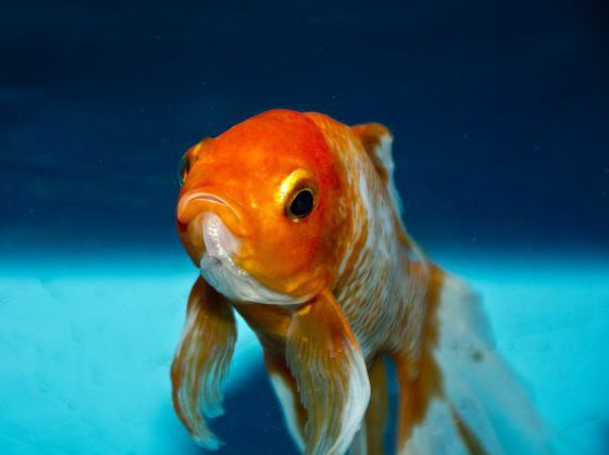 Signs of a sick goldfish