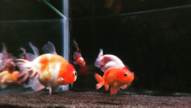 Clear Goldfish Tank