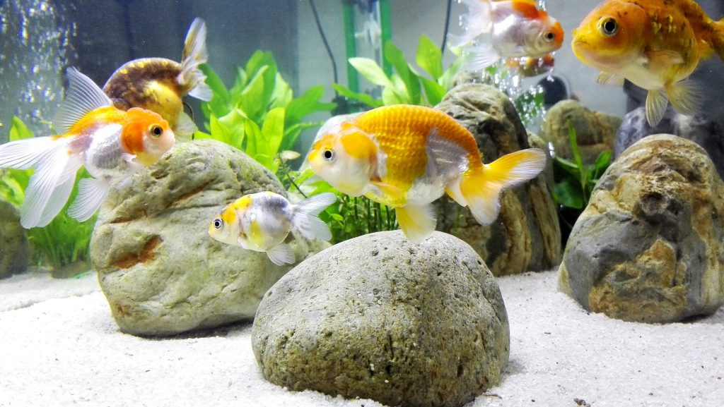 Keeping a clean goldfish tank the secret of having that for How to keep fish tank clean without changing water