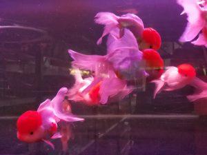 Oranda Goldfish