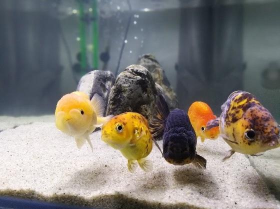 My Ranchu Goldfish