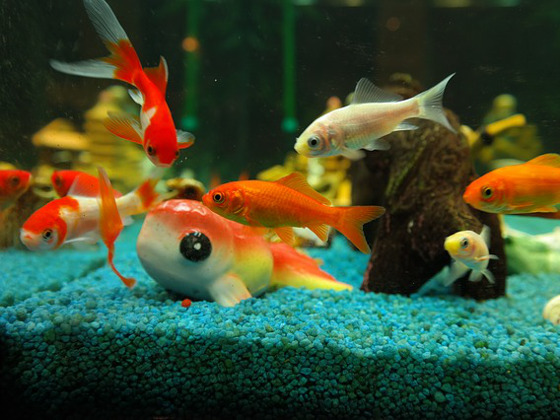 Types of Goldfish Breed - Common Goldfish