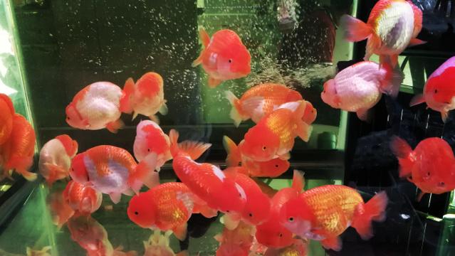 Beautiful Ranchu Goldfish at Chatuchak Fish Market