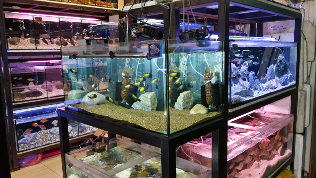 A cichlids shop in Chatuchak Fish Market