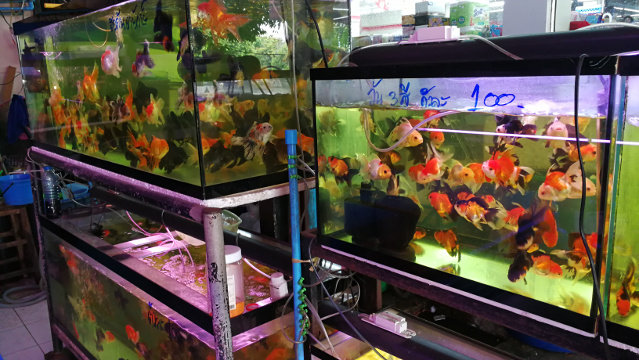 Chatuchak Fish Market - Goldfish shop