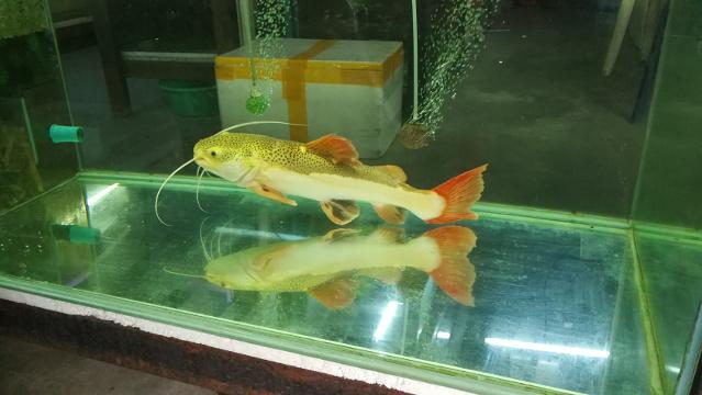 Juvenile Red-Tail Catfish