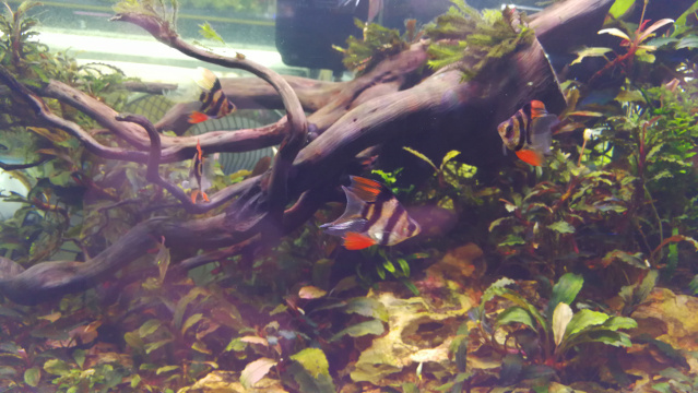 Chatuchak Fish Market - Long Finned Tiger Barb