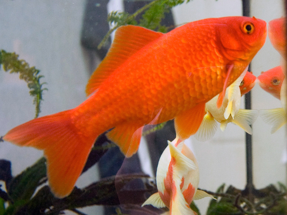 about common goldfish � the humble amp underappreciated