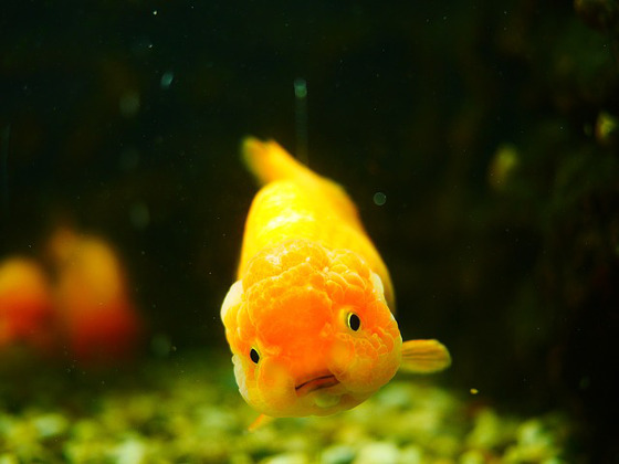 About Ranchu Goldfish