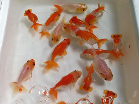 Goldfish at Chatuchak Fish Market
