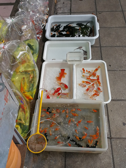 Goldfish in tubs at Chatuchak Fish Market