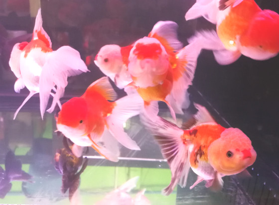 Red White Oranda