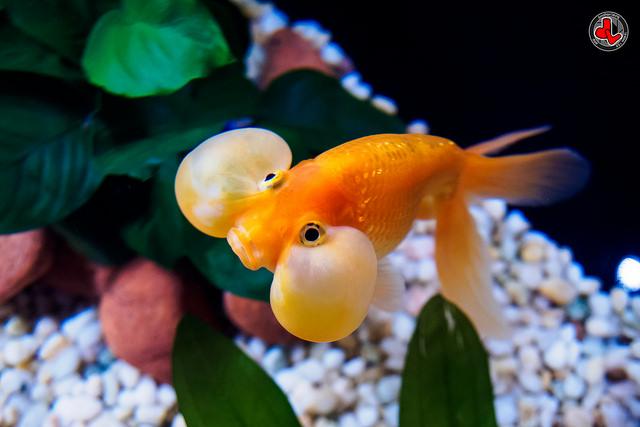 BubbleEye Goldfish