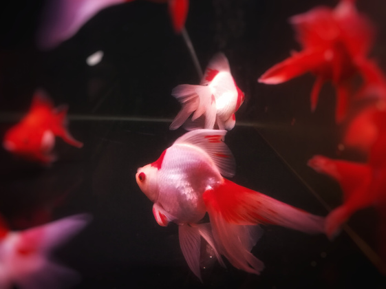 About Ryukin Goldfish