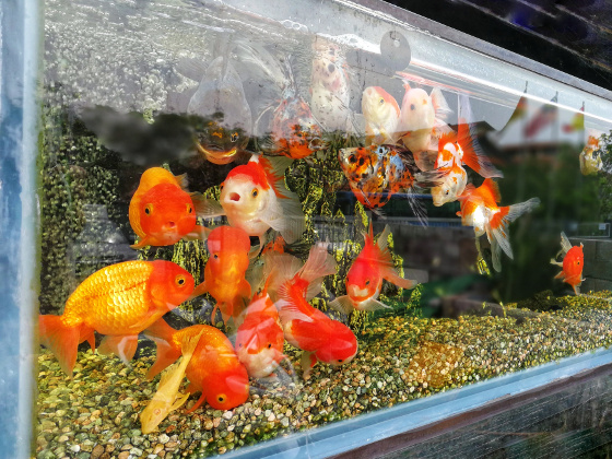 Which Goldfish to Buy