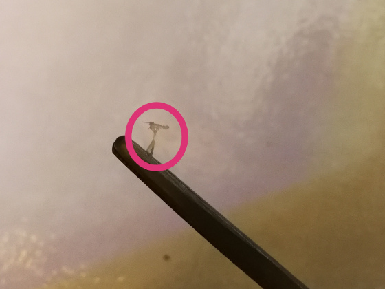 Anchor Worm on tweezers