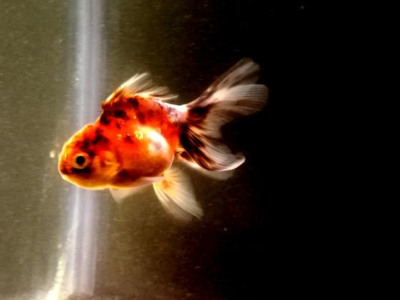 Young Oranda Goldfish