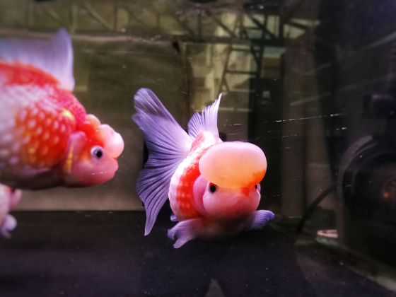 Goldfish in a community tank - What to look out for?
